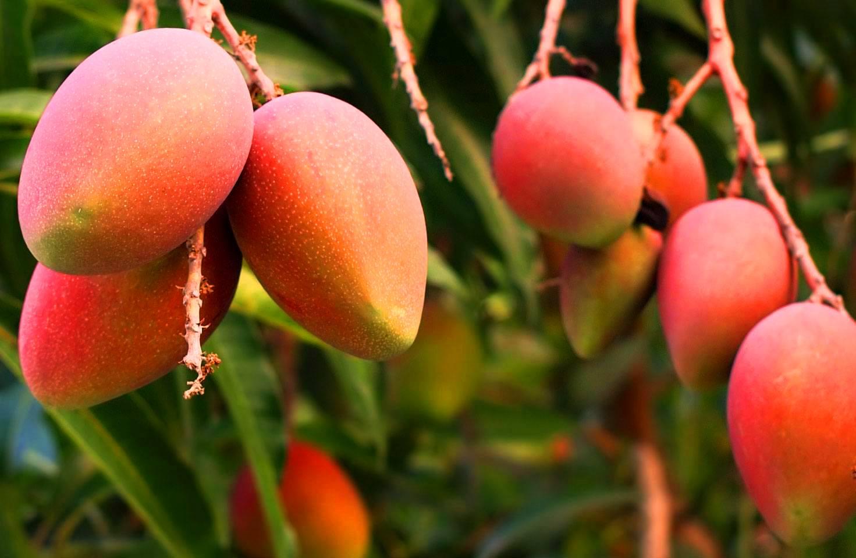 cultivo mango