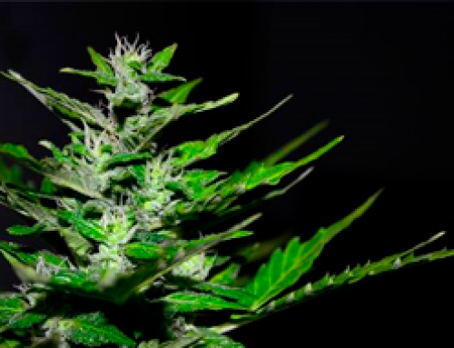05. Cannabis